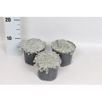 <h4>Overig 12 cm Raoulia australis</h4>