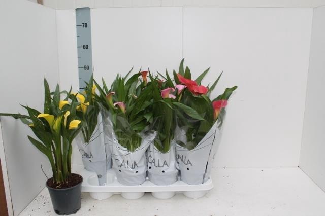 <h4>Zantedeschia mix 14Ø 40cm 4Flow</h4>