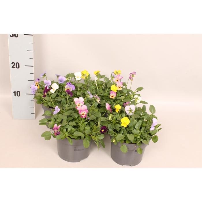 <h4>Viola cornuta 13 cm Trio Diverse soorten</h4>