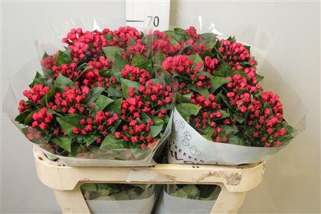 <h4>Bouvardia Red Winter 70</h4>