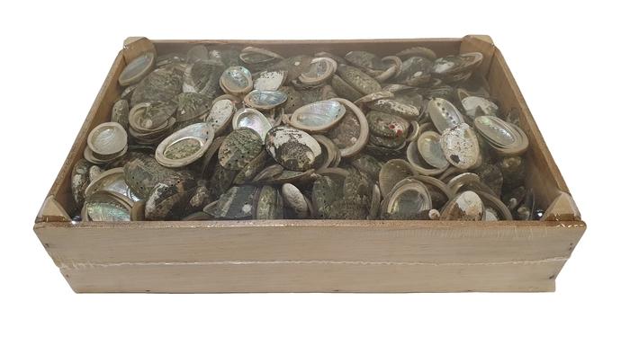 <h4>Shell Halliothus 1250gr in box</h4>