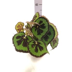 Begonia leaf Masoniana 15Ø 30cm