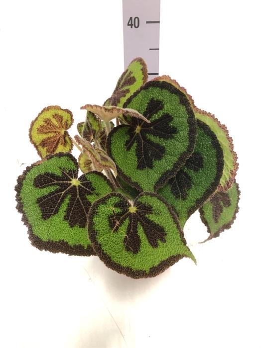 <h4>Begonia leaf Masoniana 15Ø 30cm</h4>