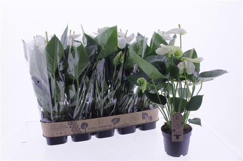 <h4>Anthurium Sierra White</h4>