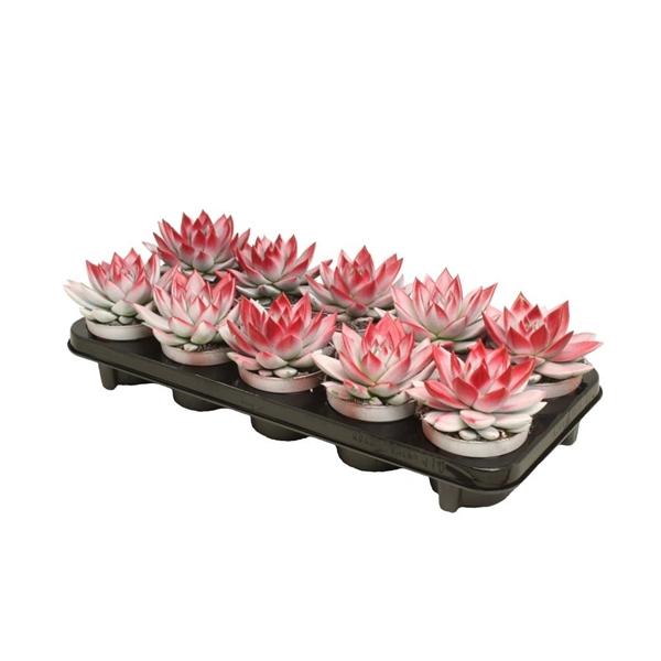 <h4>Echeveria bicoloured white/red</h4>