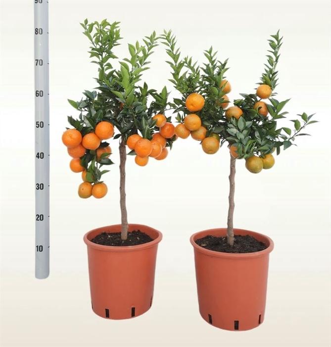 <h4>Citrus aurantifolia 'Chinotto'</h4>