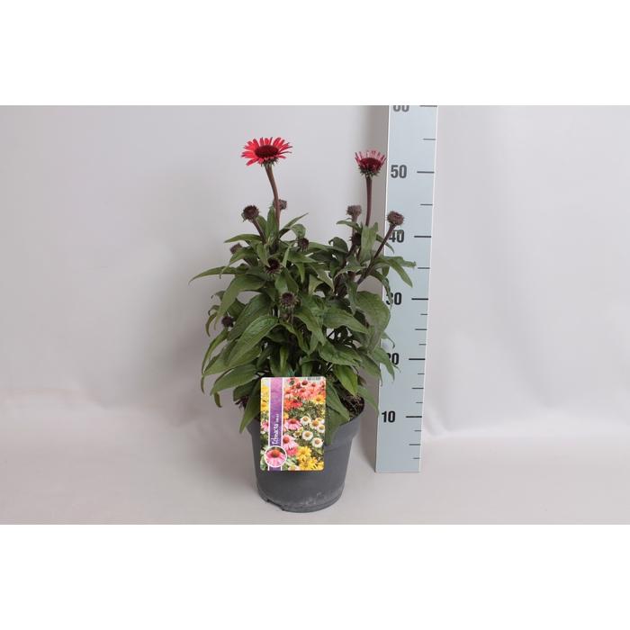 <h4>vaste planten 19 cm  Echinacea SunSeekers Red</h4>