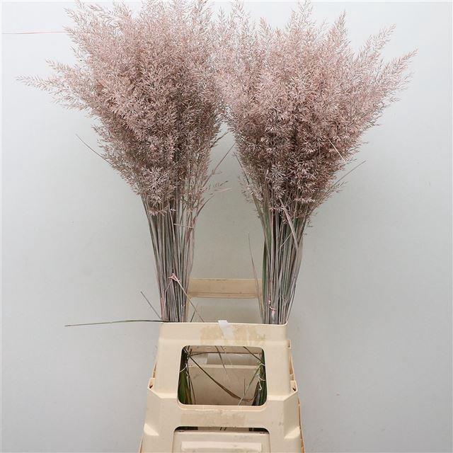 <h4>Calamagrostis Brachy Light Roze</h4>