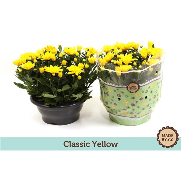 <h4>Chrysanthemum Tapas Time</h4>