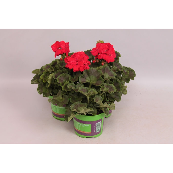 <h4>Pelargonium zonale Scarlet</h4>