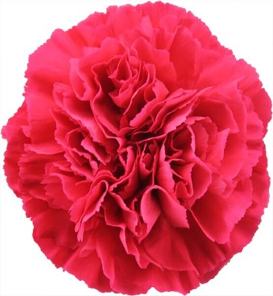 <h4>Dianthus st. Kirsi</h4>