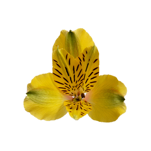 Alstr Yellow Premium 80cm