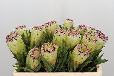 <h4>Protea Limelight</h4>