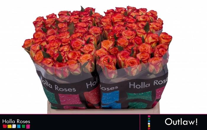<h4>Rosa grootbloemig Outlaw!</h4>