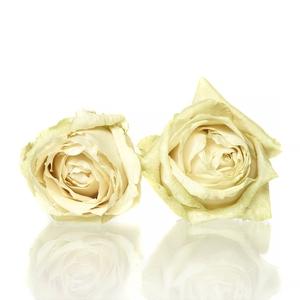 Rose Avalanche cream 5,5-6cm