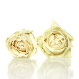 Rose Avalanche cream 5-5,5cm