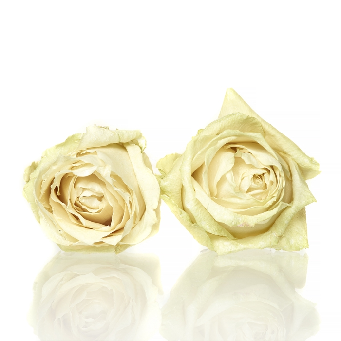 <h4>Rose Avalanche cream 5-5,5cm</h4>