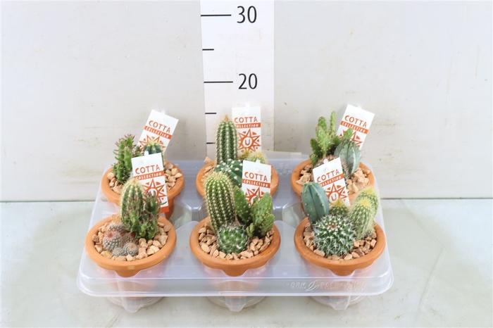 <h4>Cactusschaal Bk10</h4>
