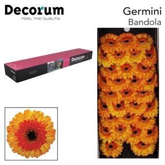 <h4>Germini Bandola</h4>