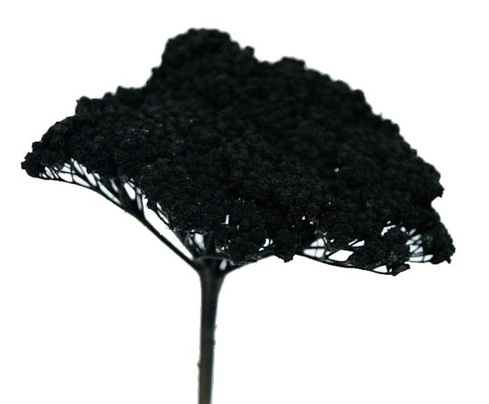<h4>Achillea Black</h4>