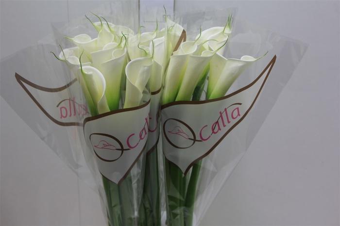 <h4>Calla Avalanche</h4>