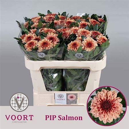 <h4>Chr G Pip Salmon</h4>