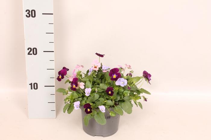 <h4>Viola cornuta 13 cm Trio Blue, Pink, Purple</h4>