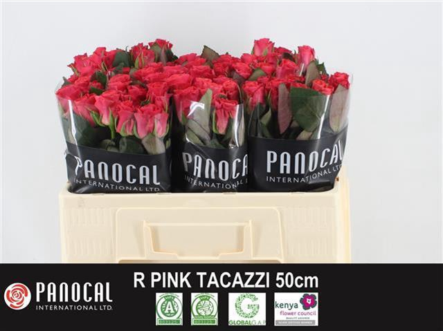 <h4>R GR PINK TACAZZI+</h4>