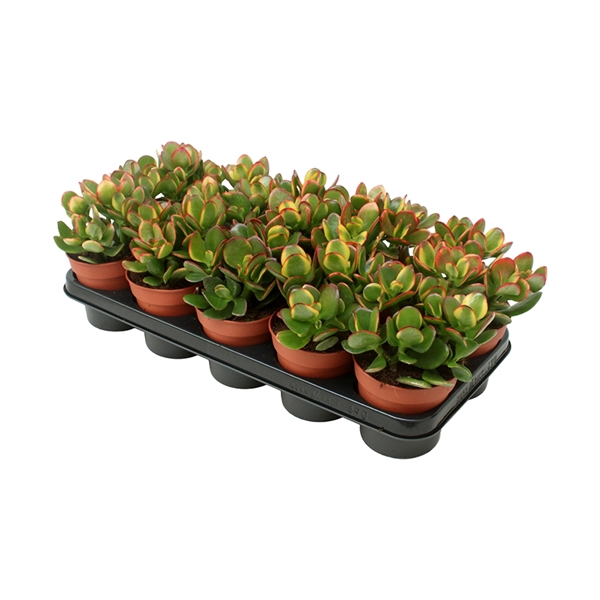 <h4>Crassula ovata sunset</h4>