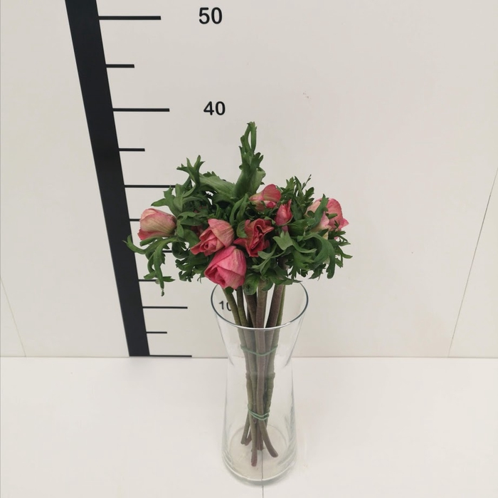 <h4>Anémona rosa</h4>