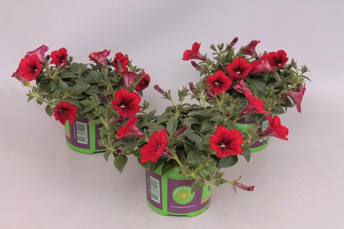 <h4>Petunia  Red</h4>