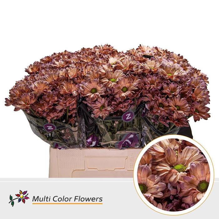 <h4>Chrysanthemum TR   ...colored H%</h4>