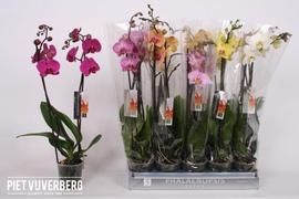 <h4>Phalaenopsis surtidas (8 colores, 2 tallos)</h4>