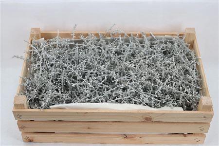 <h4>Wax Asparagus White P Box</h4>