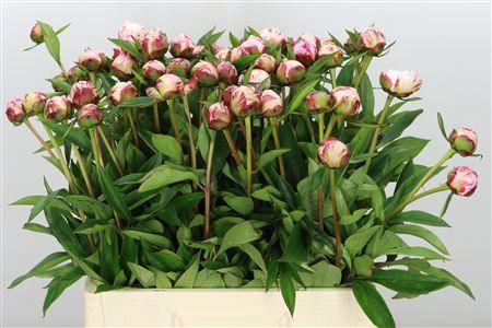<h4>Paeonia Sarah Bernhard</h4>