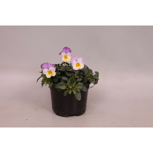 Viola cornuta F1 White with pink wing