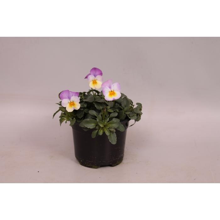 <h4>Viola cornuta F1 Rose Pink</h4>