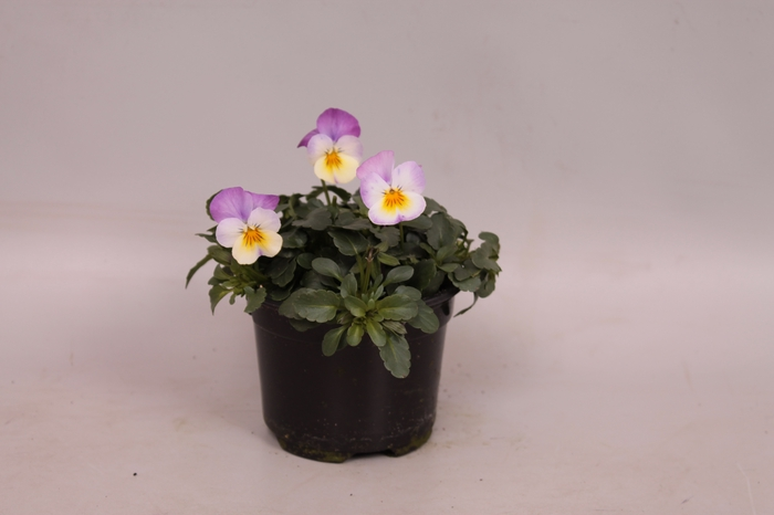 <h4>Viola cornuta F1 White with pink wing</h4>