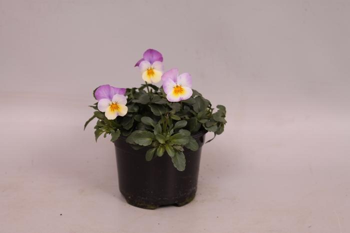 Viola cornuta F1 White with pink wing