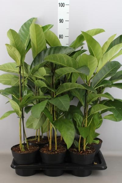 <h4>Ficus benghalensis 'Roy'</h4>