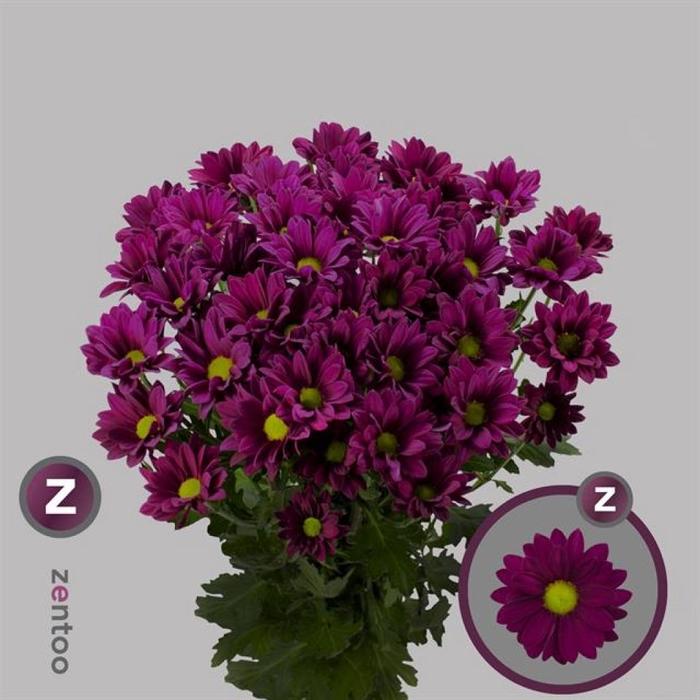 <h4>Chr T Purple Star</h4>