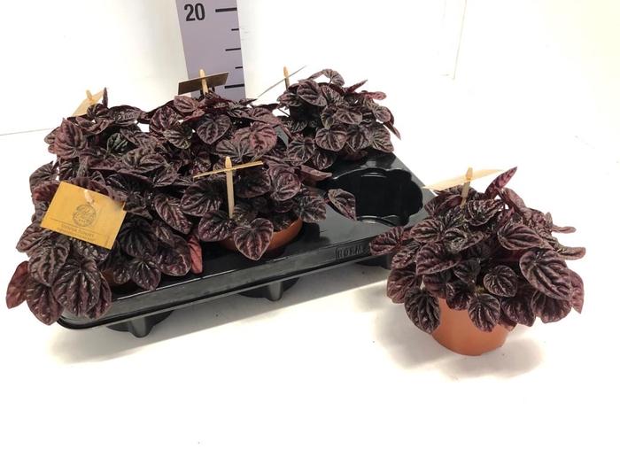 <h4>Peperomia caperata Schumi Red 10,5Ø 15cm</h4>