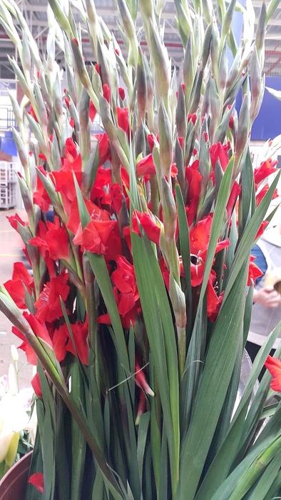 <h4>Gladioli Red</h4>