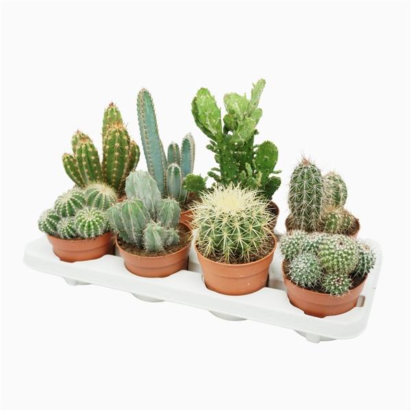 <h4>Cactus mix 12 cm.</h4>
