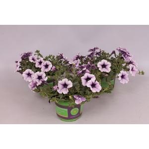 Petunia Surfinia Compact Purple Vein
