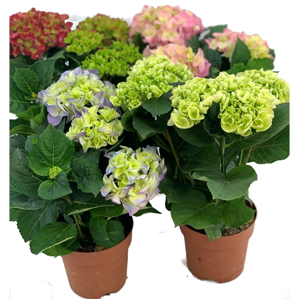 <h4>Hortensia Hydrangea Macrophylla Mix In Tray 3-4</h4>