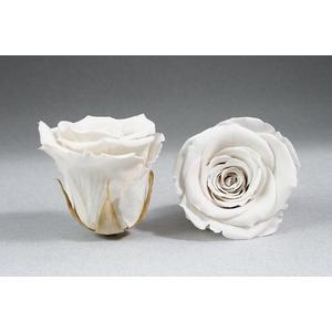 Rose stab. L Whi-04