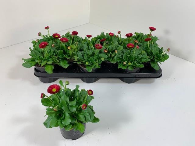 <h4>BELLIS P KL BEL RED</h4>