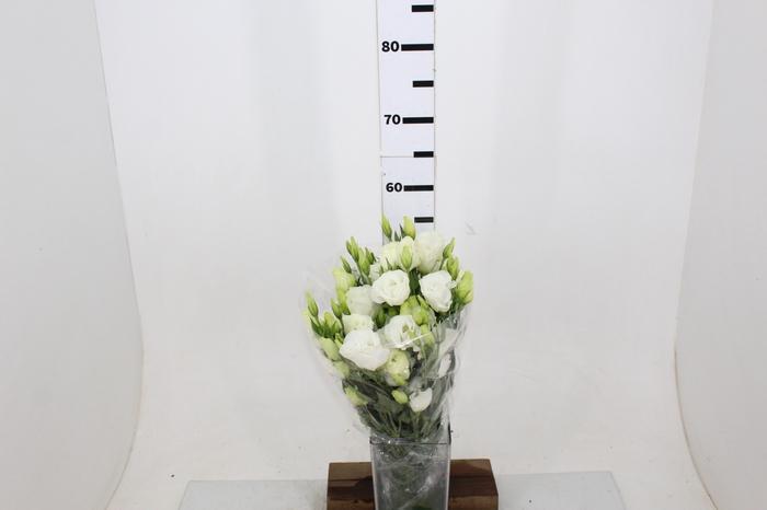 <h4>L. ALLEMANDE WHITE 050 CM MIN 500 GRAMAS BRANCO</h4>