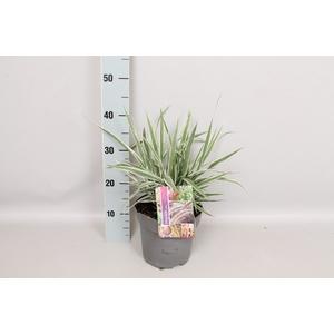 vaste planten 19 cm  Arundo Ely